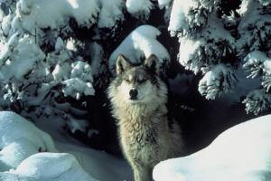ww-tracybrooksmissionwolf-usfws_000